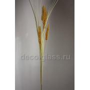 Пшеница 70 см